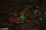 Green-and-black poison dart frogs fighting [costa_rica_la_selva_1161]