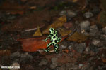 Green-and-black poison dart frogs fighting [costa_rica_la_selva_1162]