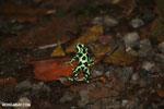 Green-and-black poison dart frogs fighting [costa_rica_la_selva_1162]