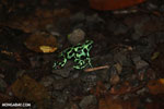 Green-and-black poison dart frogs fighting [costa_rica_la_selva_1165]