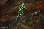 Green-and-black poison dart frogs fighting [costa_rica_la_selva_1166]