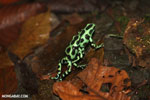 Green-and-black poison dart frogs fighting [costa_rica_la_selva_1167]