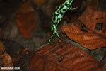 Green-and-black poison dart frogs fighting [costa_rica_la_selva_1168]
