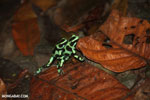 Green-and-black poison dart frogs fighting [costa_rica_la_selva_1170]