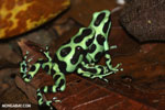 Green-and-black poison dart frogs fighting [costa_rica_la_selva_1172]