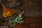 Green-and-black poison dart frogs fighting [costa_rica_la_selva_1173]