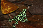 Green-and-black poison dart frogs fighting [costa_rica_la_selva_1174]