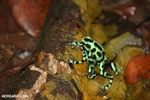 Green-and-black poison dart frogs fighting [costa_rica_la_selva_1176]
