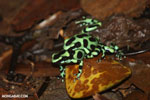 Green-and-black poison dart frogs fighting [costa_rica_la_selva_1178]