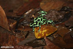 Green-and-black poison dart frogs fighting [costa_rica_la_selva_1179]