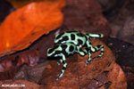 Green-and-black poison dart frogs fighting [costa_rica_la_selva_1180]