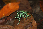 Green-and-black poison dart frogs fighting [costa_rica_la_selva_1181]