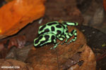 Green-and-black poison dart frogs fighting [costa_rica_la_selva_1182]