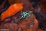 Green-and-black poison dart frogs fighting [costa_rica_la_selva_1183]