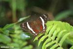 Butterfly [costa_rica_la_selva_1190]