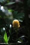 Yellow Heliconia maraca [costa_rica_la_selva_1195]