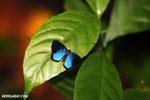 Blue and black butterfly [costa_rica_la_selva_1200]