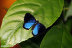 Blue and black butterfly [costa_rica_la_selva_1202]