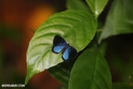 Blue and black butterfly [costa_rica_la_selva_1203]