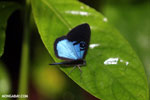 Blue and black butterfly [costa_rica_la_selva_1204]