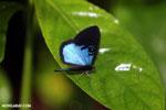 Blue and black butterfly [costa_rica_la_selva_1204]