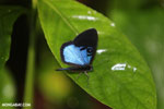 Blue and black butterfly [costa_rica_la_selva_1205]