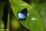 Blue and black butterfly [costa_rica_la_selva_1205]