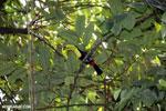 Keel-billed Toucan (Ramphastos sulfuratus) [costa_rica_la_selva_1207]