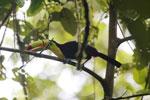 Keel-billed Toucan (Ramphastos sulfuratus) [costa_rica_la_selva_1208]