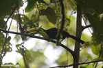 Keel-billed Toucan (Ramphastos sulfuratus) [costa_rica_la_selva_1209]