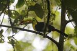 Keel-billed Toucan (Ramphastos sulfuratus) [costa_rica_la_selva_1210]