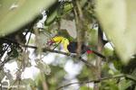 Keel-billed Toucan (Ramphastos sulfuratus) [costa_rica_la_selva_1212]