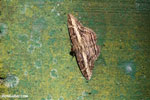 Moth [costa_rica_la_selva_1215]