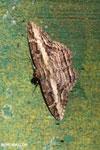Moth [costa_rica_la_selva_1216]