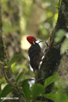 Pale-billed woodpecker [costa_rica_la_selva_1217]