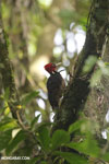 Pale-billed woodpecker [costa_rica_la_selva_1220]