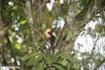 Pale-billed woodpecker [costa_rica_la_selva_1222]