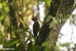 Pale-billed woodpecker [costa_rica_la_selva_1223]
