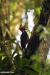 Pale-billed woodpecker [costa_rica_la_selva_1225]