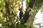Pale-billed woodpecker [costa_rica_la_selva_1226]