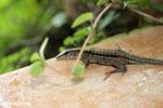 Lizard [costa_rica_la_selva_1227]