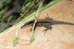 Lizard [costa_rica_la_selva_1228]