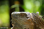 Green iguana climbing a tree [costa_rica_la_selva_1232]