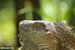 Green iguana climbing a tree [costa_rica_la_selva_1233]