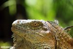 Green iguana climbing a tree [costa_rica_la_selva_1237]