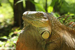Green iguana climbing a tree [costa_rica_la_selva_1239]