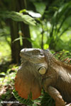 Green iguana climbing a tree [costa_rica_la_selva_1240]