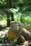 Green iguana climbing a tree [costa_rica_la_selva_1242]
