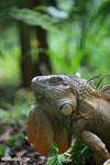 Green iguana climbing a tree [costa_rica_la_selva_1246]