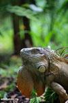 Green iguana climbing a tree [costa_rica_la_selva_1247]